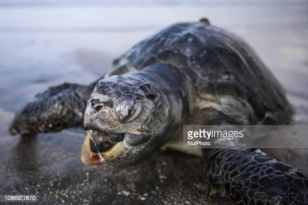 A dead sea turtle lies on the sand at morning in Kuta beach Bali Indonesia on Saturday December 15 2018 She was lost in a current during storm in the...