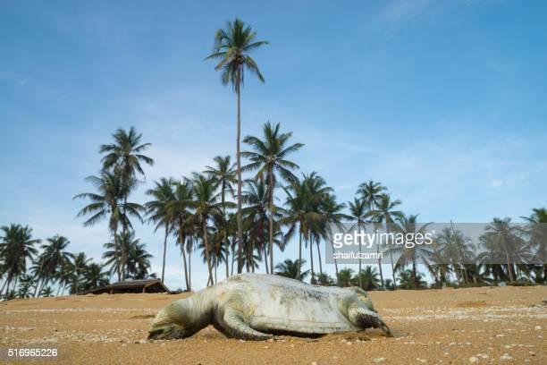 A dead sea turtle