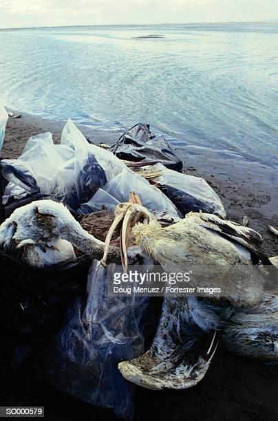 Dead Seabirds on a Beach