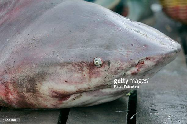 Graphic Content*** BANDA ACEH INDONESIA NOVEMBER 26 Dead shark seen at the traditional Lampulo fish market on November 26 2015 in Banda Aceh...