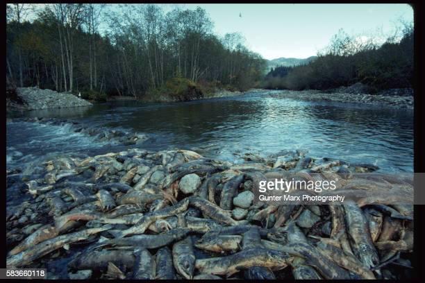 Dead Sockeye Salmons, Chehalis River