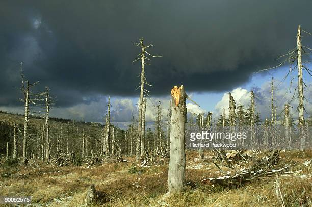 dead spruce forests killed by acid rain, krkonose np, poland - acid rain stock photos and pictures