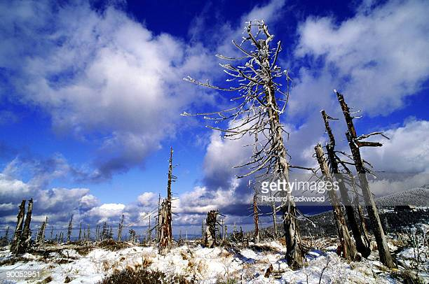 dead spruce forests - acid rain stock photos and pictures