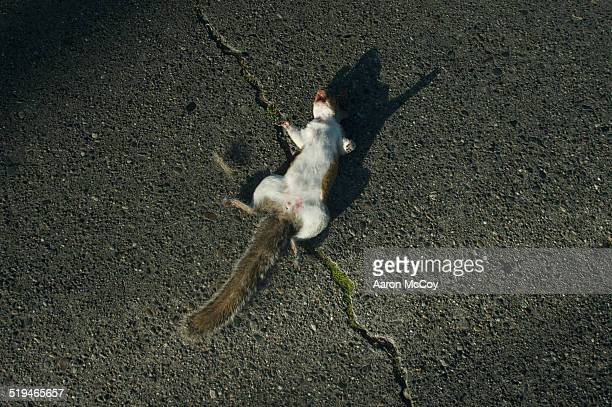 dead squirrel - roadkill stock photos and pictures