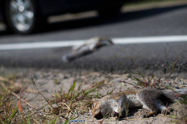 Dead squirrels lay on the side of Cummings Road in Scarborough on Tuesday.