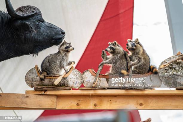 dead stuffed cape buffalo and raccoons rowing crafted birch canoes - wisconsin stock pictures, royalty-free photos & images