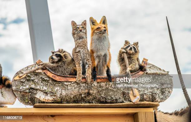 dead stuffed raccoons and fox rowing crafted birch canoes - bush dog stock pictures, royalty-free photos & images