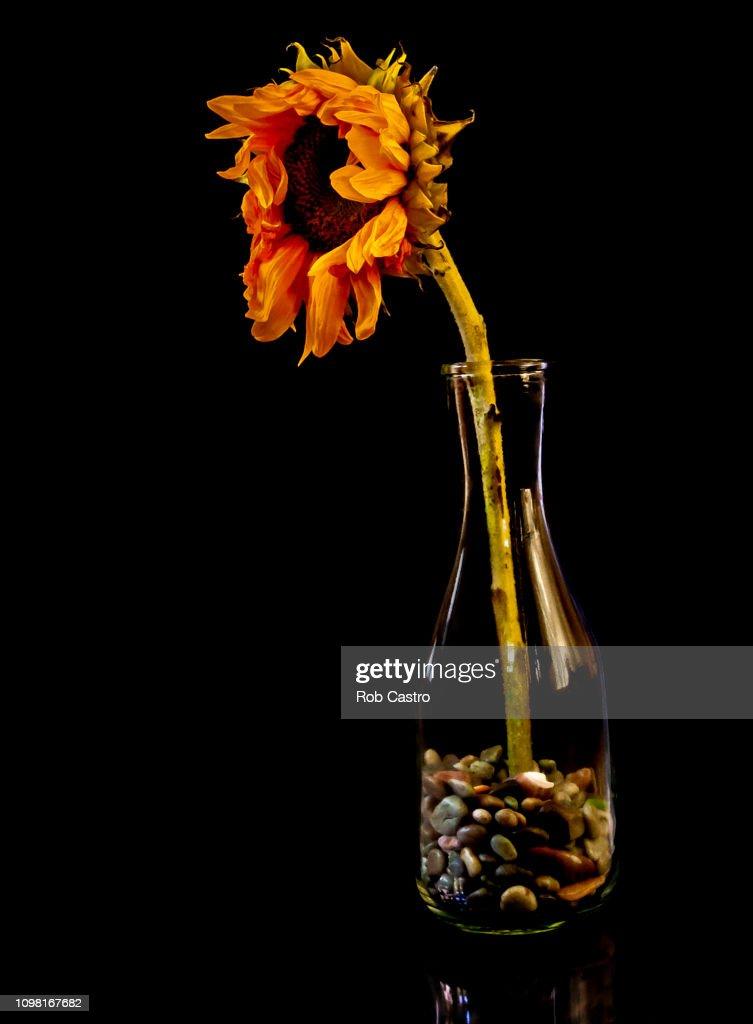 Dead Sunflower on Vase : Stock Photo