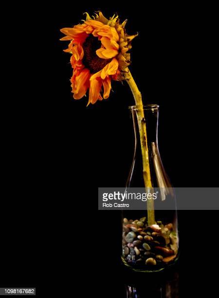 Dead Sunflower on Vase