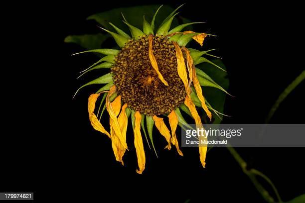 dead sunflower - dead rotten fotografías e imágenes de stock