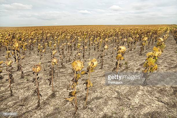 Dead Sunflowers In Parched Field