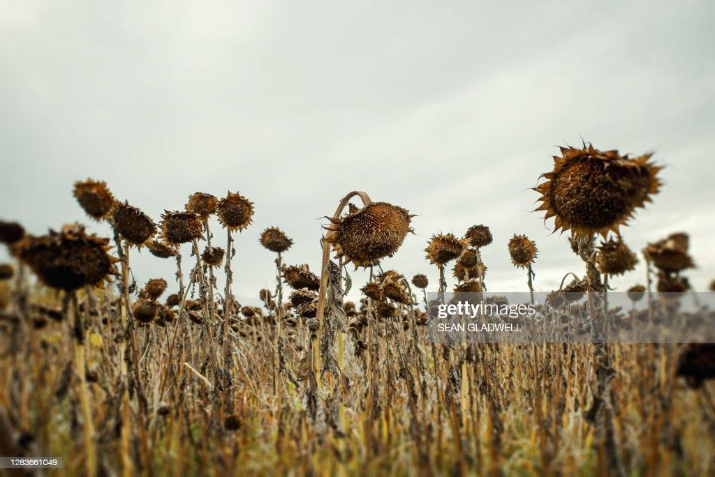 Dead sunflowers : Stock Photo