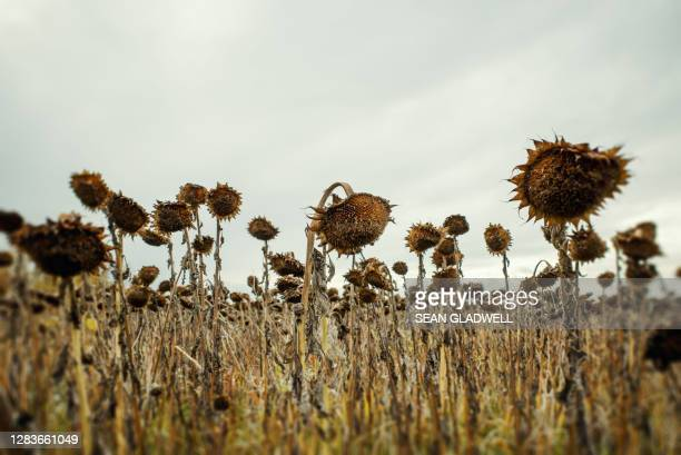 dead sunflowers - death stock pictures, royalty-free photos & images