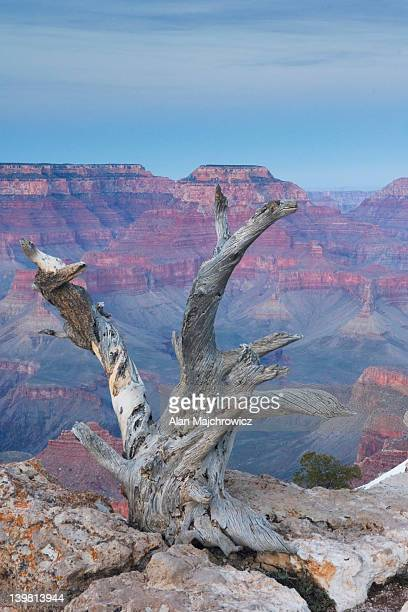 Dead tree above Grand Canyon from Mather Point, Grand Canyon National Park, Arizona, USA