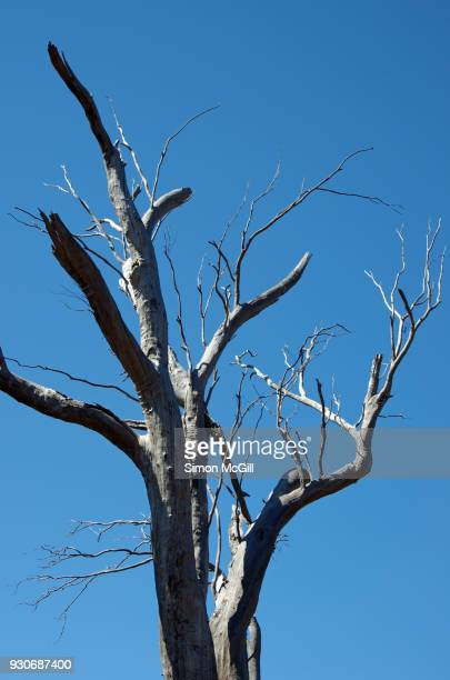 Dead tree against a clear blue sky