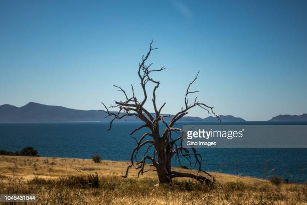 dead tree against sea, australia - image stock pictures, royalty-free photos & images