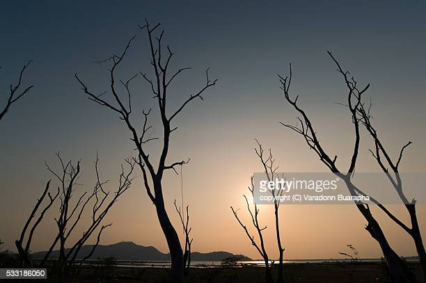 Dead tree at Bangphra water reservoir , Chonburi , Thailand