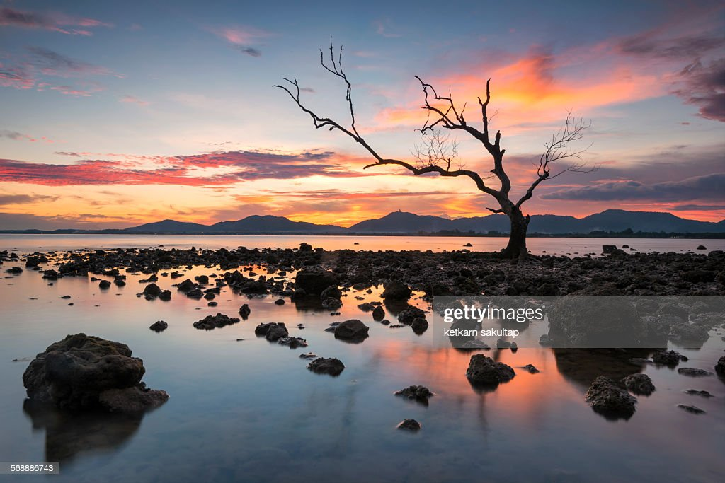 Dead tree at sunset time in Phuket : Stock Photo
