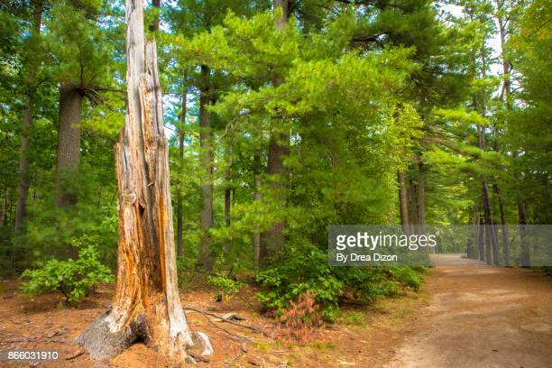 dead tree beside a hiking trail - manchester new hampshire stock pictures, royalty-free photos & images