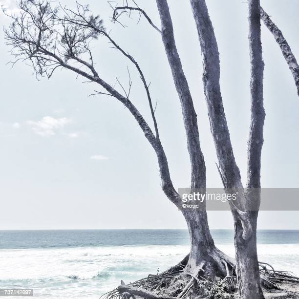 Dead tree by the ocean, Sodwana, KwaZulu Natal, South Africa