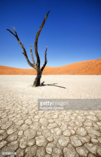 a dead tree in a desert. - lake bed stock pictures, royalty-free photos & images