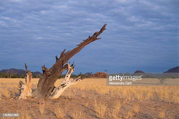 Dead tree in Damaraland, Namibia, Africa