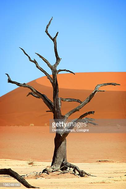 dead tree in deadvlei, namibia - dietmar temps - fotografias e filmes do acervo