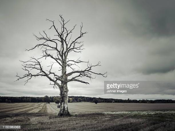 dead tree in rural landscape - dead stock pictures, royalty-free photos & images