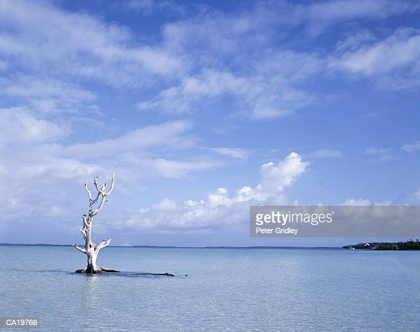 Dead tree in shallow tropical water, Harbour Island, Bahamas