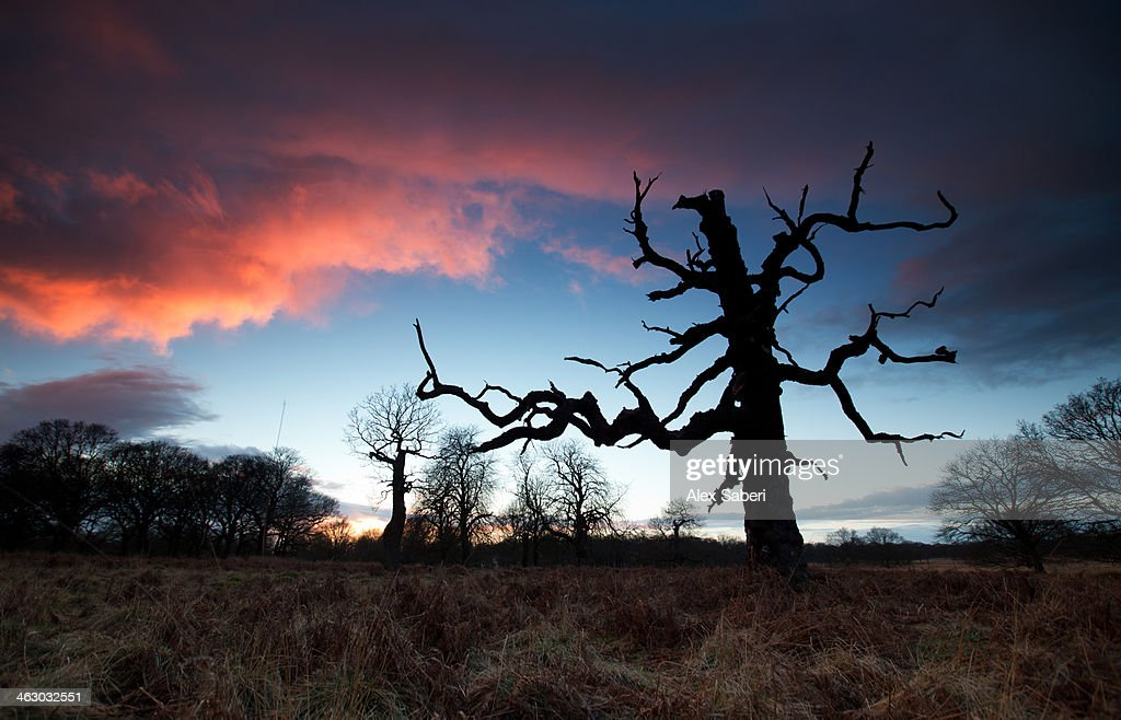 A dead tree in the sunset in Richmond Park, London. : Stock Photo