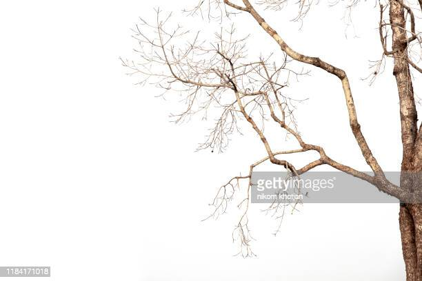 dead tree isolated on white background, dead branches of a tree.dry tree branch.part of single old and dead tree on white background. - branch stock pictures, royalty-free photos & images