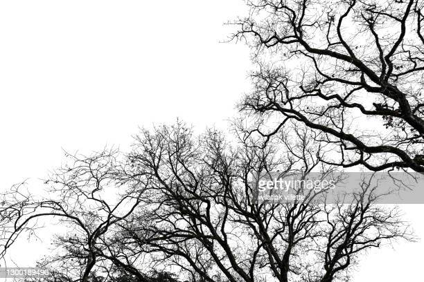 dead tree isolated with white background. - kale boom stockfoto's en -beelden