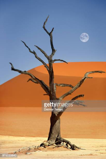 dead tree, namibia - dietmar temps stock photos and pictures