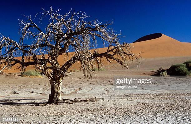 dead tree near a sand dune - sossusvlei stockfoto's en -beelden