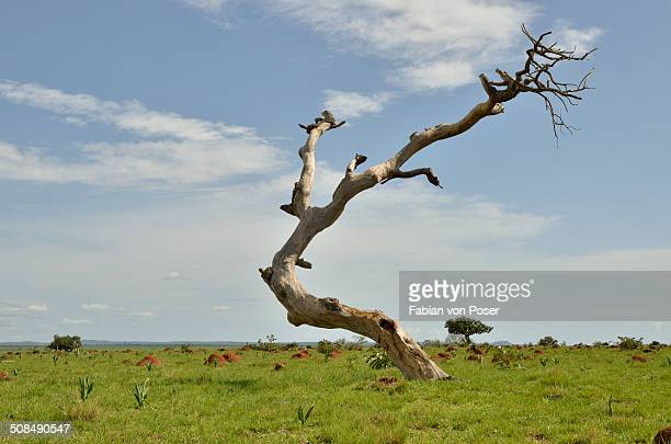 Dead tree near Idool, near Ngaoundere, Cameroon, Central Africa, Africa
