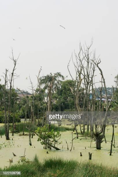 Dead tree on green swamp