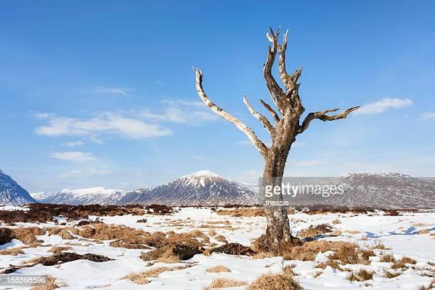 古い木にラノッホムーア - theasis ストックフォトと画像