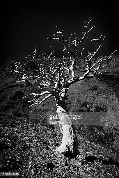 dead tree on the scenic point trail - lago two medicine montana - fotografias e filmes do acervo