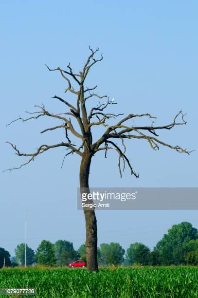 dead tree - cremona foto e immagini stock