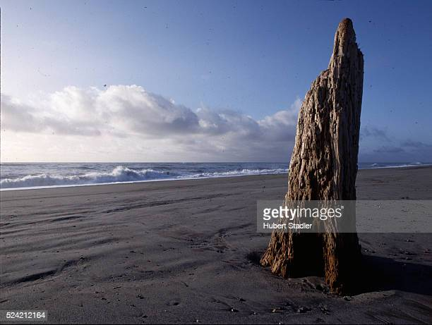 A dead tree trunk stands on Gillespie's Beach in Westland National Park South Island New Zealand | Location Gillespie's Beach Westland National Park...