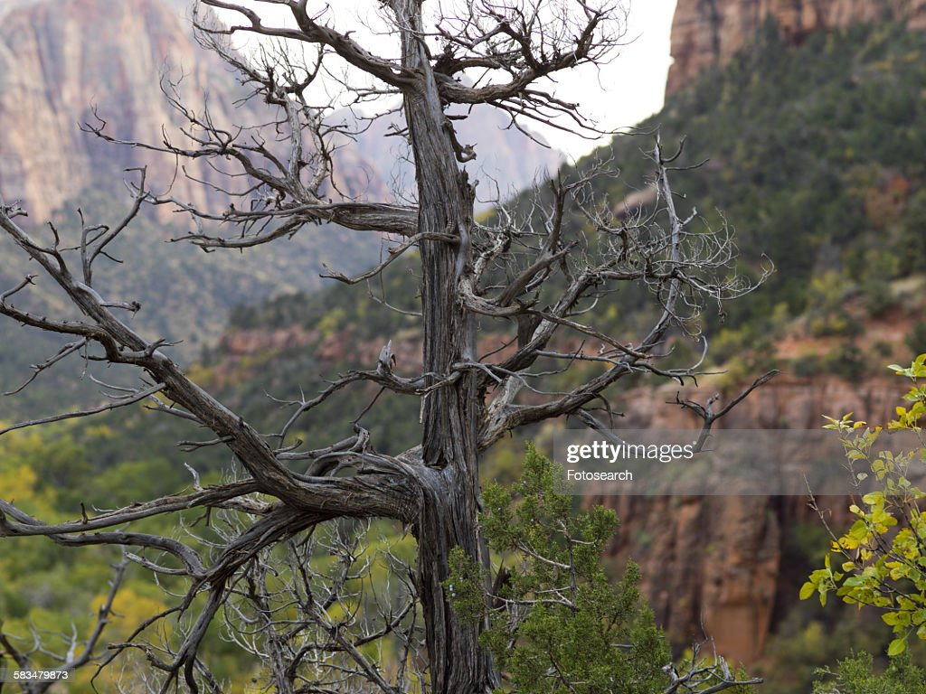 Dead tree with rock formations : Stock Photo