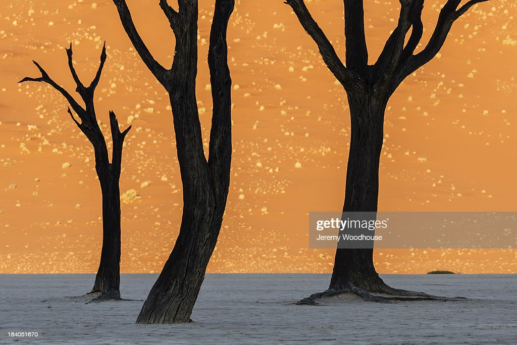 Dead trees against a dune background : Stock Photo