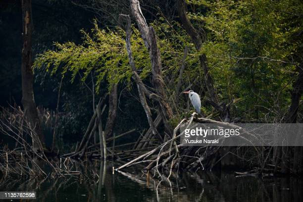 dead trees and grey heron - snag tree stock pictures, royalty-free photos & images