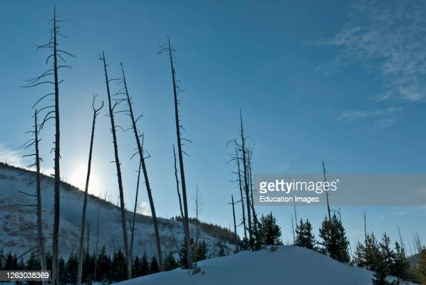 Dead Trees and Snow at Thunder Mountain in Winter Yellowstone National Park Wyoming