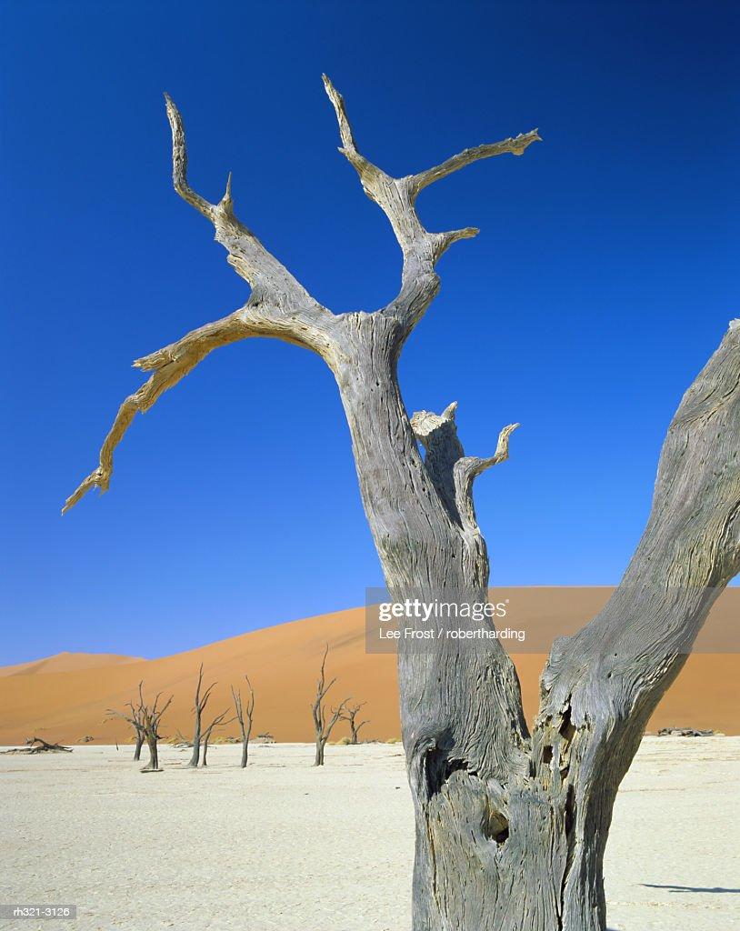 Dead trees and sun-baked pan, Dead Vlei, Namib Naukluft Park, Namibia : Stockfoto