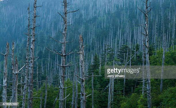 dead trees at clingmans dome - clingman's dome - fotografias e filmes do acervo