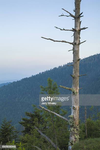 dead trees, clingmans dome, great smoky mtns np - clingman's dome stock photos and pictures