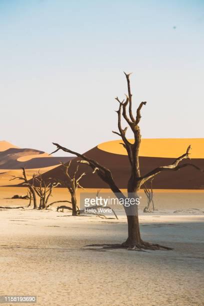 dead trees, curved dunes and colour contrasts in the namian desert - albero spoglio foto e immagini stock