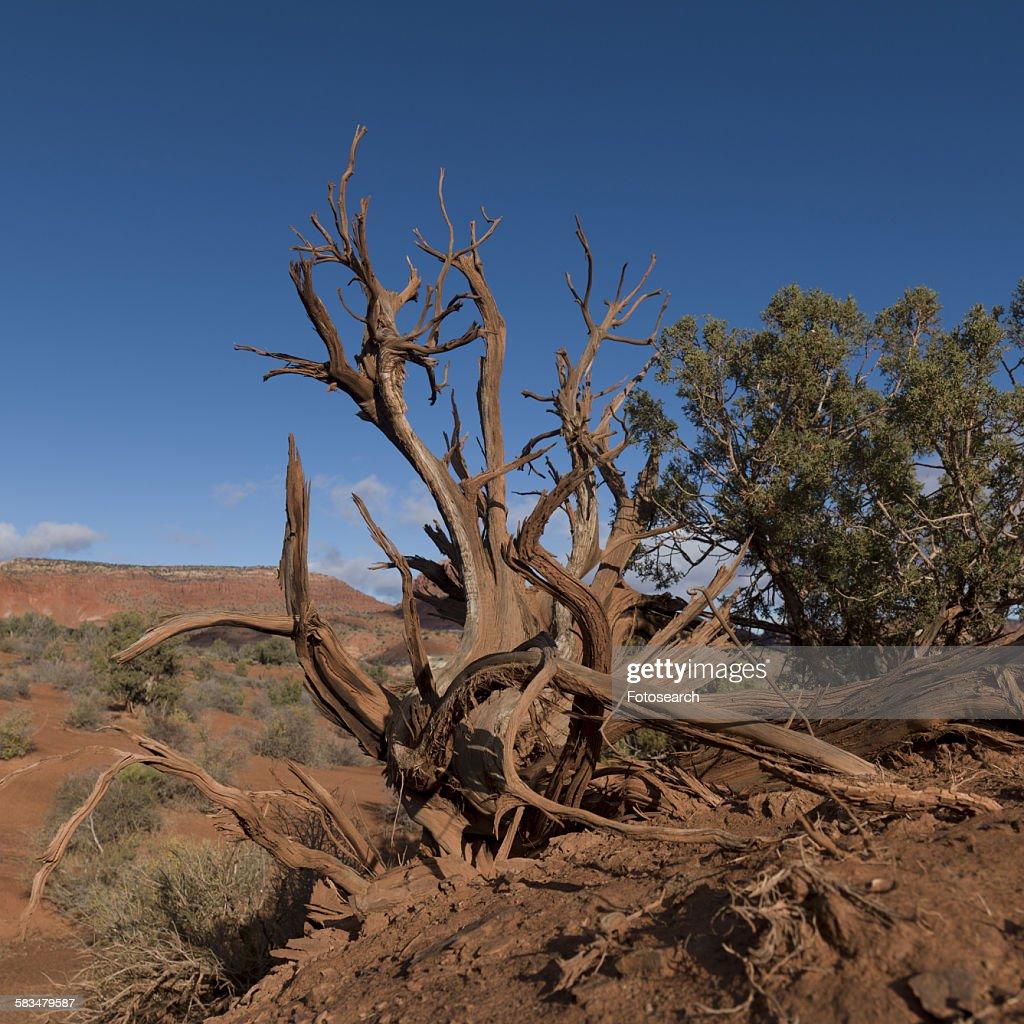 Dead trees in a desert : Stock Photo