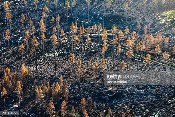 dead trees in autumn forest - töten stock-fotos und bilder